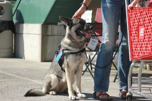 Yishan Chen | Blot Magaizne German Shepherd Uma waits for her trainer's orders outside Tri-State Outfitters in Moscow.